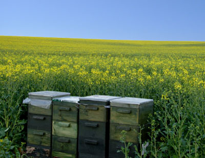 Beehives in Farm Fields